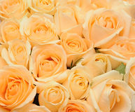 Cream roses background Royalty Free Stock Images