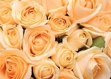 Cream roses background Stock Images