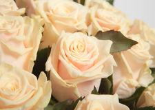 Cream roses Stock Photography