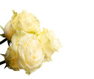 Cream roses Royalty Free Stock Photography