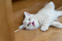 Cream scottish fold cat Stock Photo