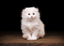 Cream scottish fold kitten on table Royalty Free Stock Image
