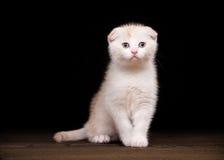 Cream scottish fold kitten on table with wooden texture Royalty Free Stock Photos