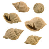 Cream Seashell. With ridges photographed at various angles royalty free stock photography