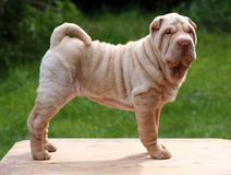 Cream shar pei puppy standing2. Cream shar pei puppy stack standing Stock Image
