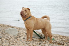 Cream sharpei girl Stock Images