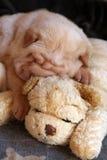 Cream sharpei puppy sleeping. 2 months old sharpei puppy sleeping on a sharpei toy Royalty Free Stock Image