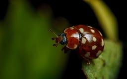 Cream-spot ladybird (Calvia 14-guttata). On a grape leaf royalty free stock photography
