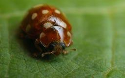 Cream-spot ladybird (Calvia 14-guttata). On a grape leaf stock photos