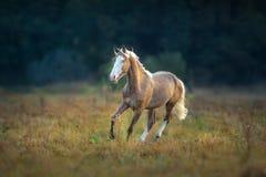 Cream stallion run gallop. Palomino horse run gallop against dark forest background royalty free stock photos