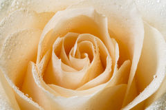 Cream tea rose with drops of dew Royalty Free Stock Image