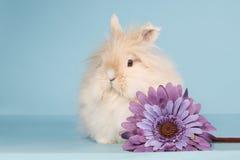 Cream teddy dwarf rabbit with flower Stock Photography