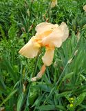 Cream tender irises in blossom after the rain royalty free stock image