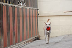 Cream Thai dog walking and carrying red ball Royalty Free Stock Photos