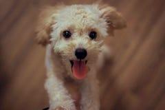 Cream Toy Poodle Royalty Free Stock Photo