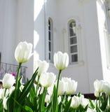 Cream tulips stock image