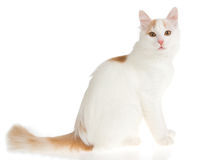 Cream Turkish Van on white background Royalty Free Stock Images