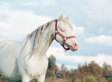 Cream welsh pony dam in the field Royalty Free Stock Photos