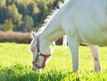 Cream welsh pony dam in the field Stock Image