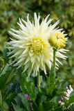 Cream White Dahlia with Dew Royalty Free Stock Photos