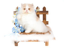 Cream and white Persian kitten on wooden bnehc Stock Photography