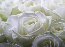 Cream white roses stock photos