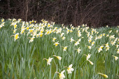 Cream and yellow daffodills. Early spring daffodills just flowered Stock Image
