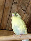 Cream yellow and green pied fledgling budgie Stock Photography