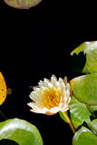 Cream and yellow Water Lily - Nymphaceae Nymphaea Arc-en-ciel wi. Th leaves floating on pond water Royalty Free Stock Photos