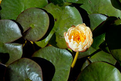 Cream and yellow Water Lily - Nymphaceae Nymphaea Arc-en-ciel wi. Th leaves floating on pond water Royalty Free Stock Images