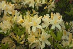 Cream-yellow and white azalea flowers. Rhododendron bush in garden. Beautiful spring flowers stock photos