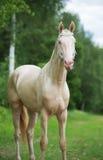 Creamello purebred akhalteke stallion at green forest backgroun Royalty Free Stock Photos