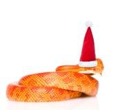 Creamsicle在红色圣诞节帽子的玉米蛇 查出在白色 免版税图库摄影