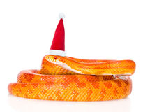 Creamsicle在红色圣诞节帽子的玉米蛇 查出在白色 库存照片