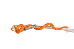 Creamsicle Corn Snake (Elaphe guttata guttata) on a dry branch. isolated. On white Stock Photos