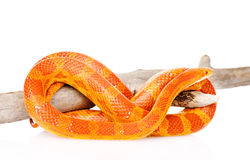 Creamsicle Corn Snake (Elaphe guttata guttata) on a dry branch.  Stock Images