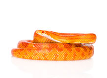 Creamsicle Corn Snake (Elaphe guttata guttata). isolated Stock Photos