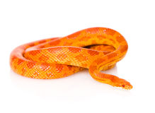 Creamsicle Corn Snake (Elaphe guttata guttata). isolated Stock Image