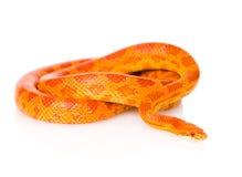 Creamsicle Corn Snake (Elaphe guttata guttata). isolated. On white stock image