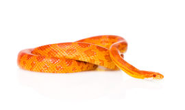 Creamsicle Corn Snake (Elaphe guttata guttata). isolated on white Royalty Free Stock Images