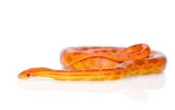 Creamsicle Corn Snake (Elaphe guttata guttata).  on whit Royalty Free Stock Image
