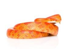 Creamsicle Corn Snake (Elaphe guttata guttata).  Royalty Free Stock Images