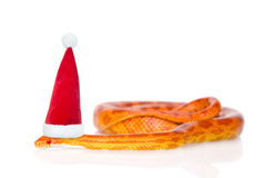 Creamsicle Corn Snake in red christmas hat.  on white ba Royalty Free Stock Photos