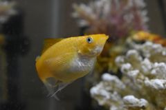 Creamsicle Leier-band Molly in meinem Aquarium an stockfotografie