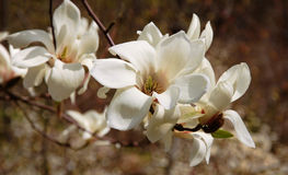 Creamy blossom of white magnolia tree. Beautiful white magnolia flower. White flower of the magnolia tree in early spring. Blooming magnolia Stock Photos