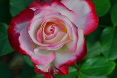 Creamy Cherry Parfait Rose Stock Images