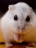 Creamy the hammy Royalty Free Stock Images