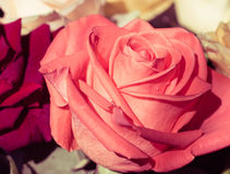 Creamy pink rose close up Royalty Free Stock Images