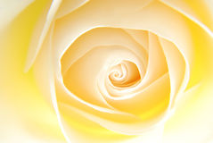 Creamy rose stock photo