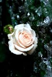 Creamy Rose Royalty Free Stock Photography